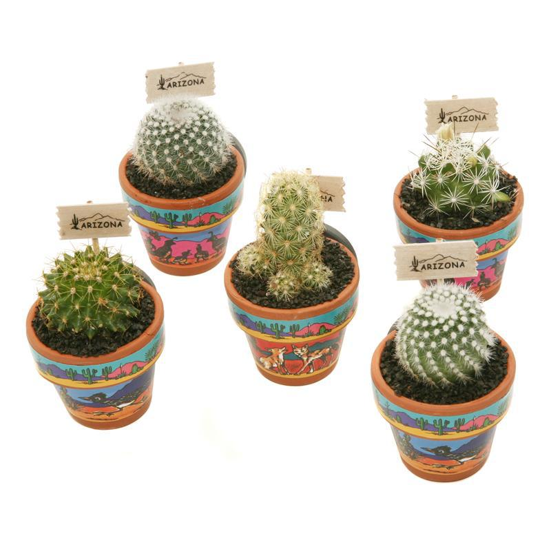 Image For Magnet: Living Cactus Assorted